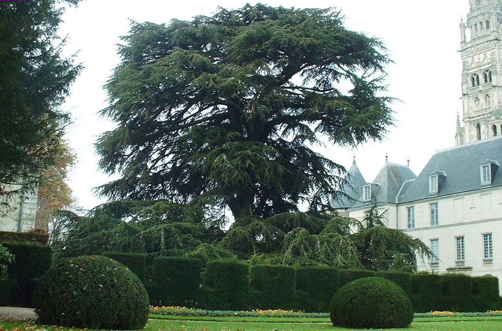 L 39 arbre tours travers les si cles for Beaux arbres de jardin